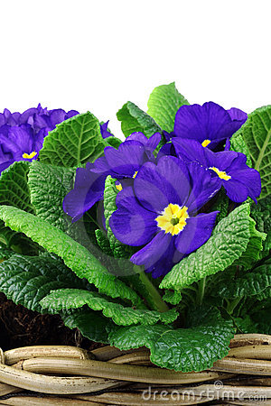 Blooming blue and yellow primula s
