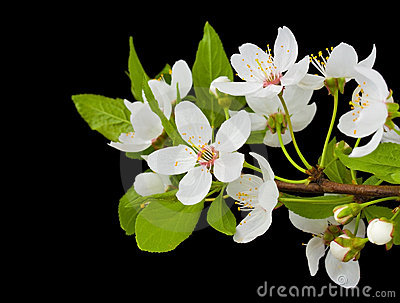 Blooming branch of plum tree