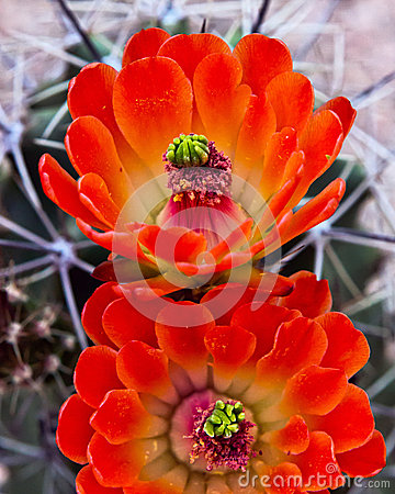 Free Blooming Cactus Flower Royalty Free Stock Image - 30189416
