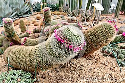 Blooming cactus (mammilaria)