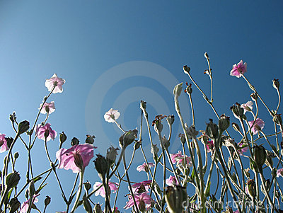 Blooming campion crown (Lychnis coronaria)