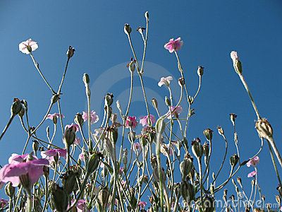 Blooming campion crown (Lychnis coronaria) against