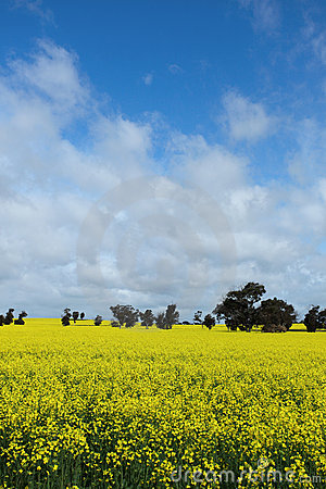Blooming Canola flower