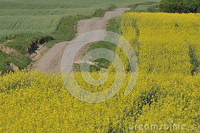Blooming canola, polish field