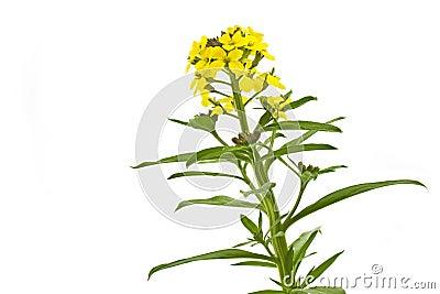 Blooming Cheiranthus cheri flower