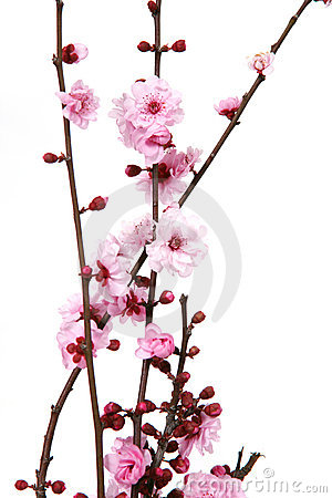 Free Blooming Cherry Blossoms Royalty Free Stock Image - 2087126