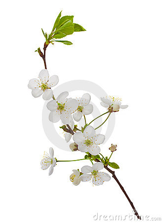 Blooming cherry branch
