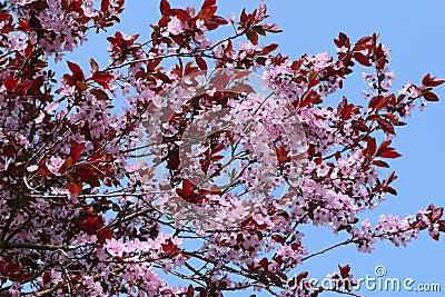 Blooming cherry (sakura)