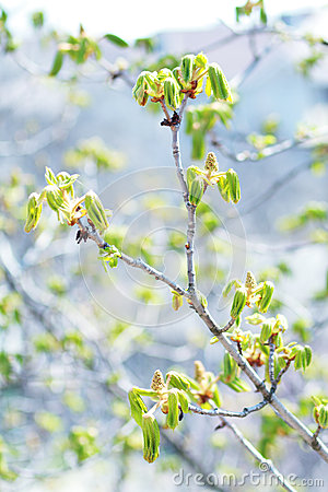 Blooming chestnut tree