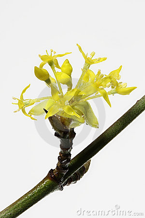 Blooming Cornelian Cherry, Closeup