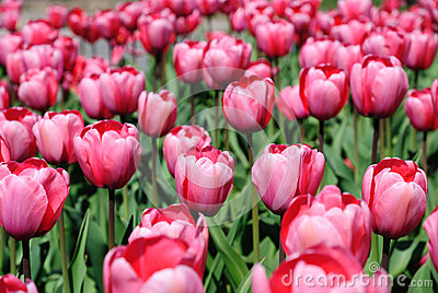 Blooming dense flowerbed of pink tulips