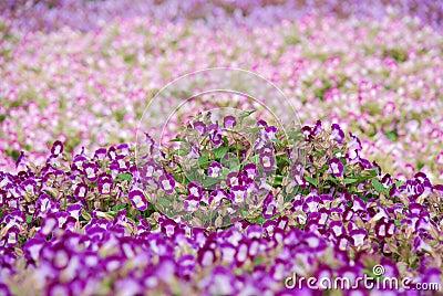 Blooming dense flowerbed of small purple flowers