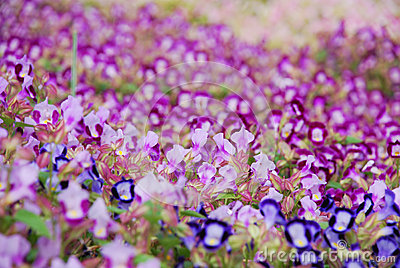 Blooming dense flowerbed of small purple flowers