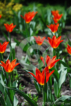 Blooming flowerbed of orange tulips