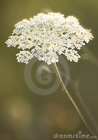 Blooming flowers in Oregon s Willamette Valley