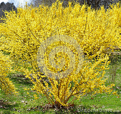 Free Blooming Forsythia In April Stock Images - 38448804