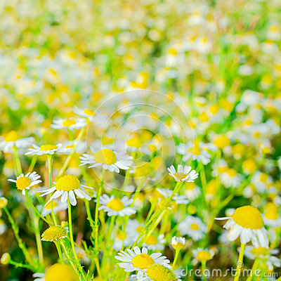 Blooming fresh field of daisy flowers, background