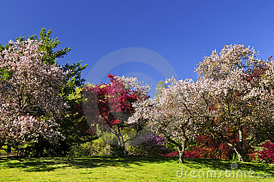 Blooming fruit trees in spring park