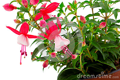 Blooming fuchsia
