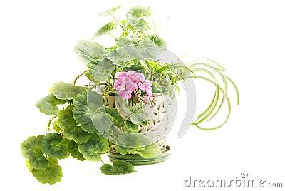 Blooming Geranium