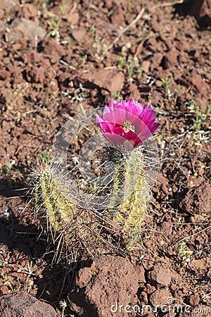 Blooming Hedgehog Cactus
