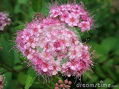 Blooming Japanese spirea (Spiraea japonica)