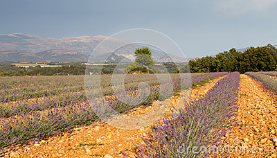 Blooming lavender field, Provence, France