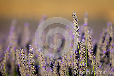 Blooming lavender in Provence, France