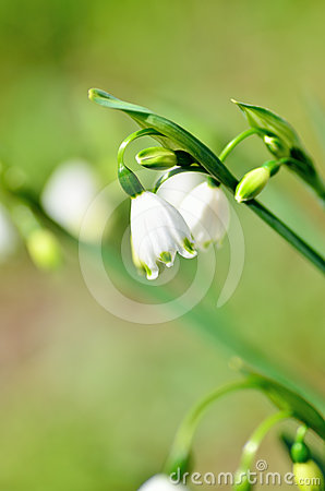 Blooming Lily-of-the-valley (close-up).