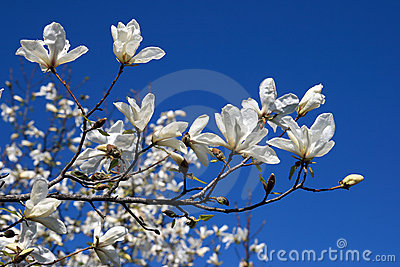 Blooming magnolia on blue sky background
