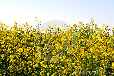 Blooming Mustard in California