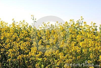 Blooming Mustard in California