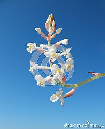 Blooming Orchid Ludiziya or Haemaria
