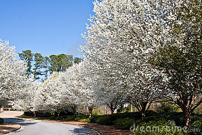 Blooming Pear Trees on Curve in Road