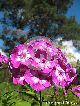 Blooming Phlox paniculata, Polemoniaceae