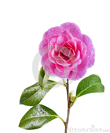 Free Blooming Pink Camellia Flower Isolated On White Stock Photo - 30437900