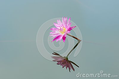Blooming of pink lotus flower