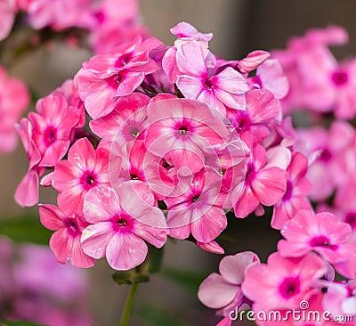 Blooming pink phlox