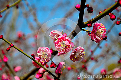 Blooming plum