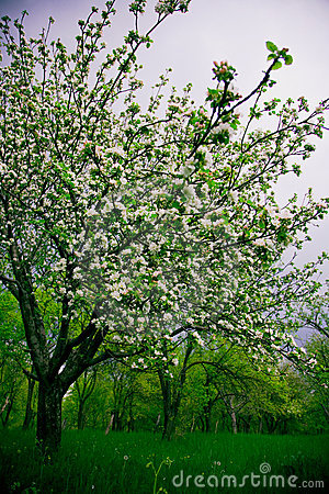 Blooming Plum Trees