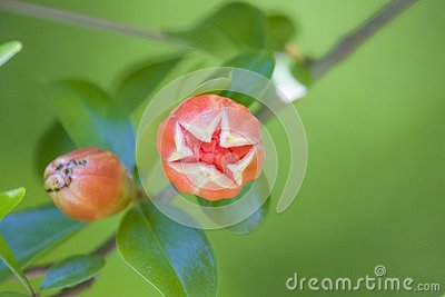 The blooming pomegranate flower is budding into a plant flower Stock Photo
