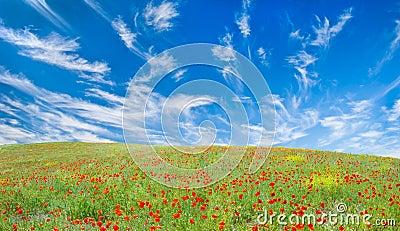 Blooming poppy meadow