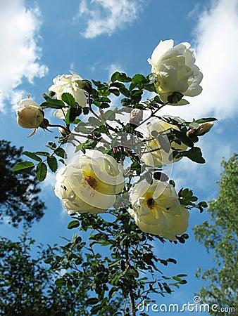 Blooming prickly briar (Rosa spinosissima)