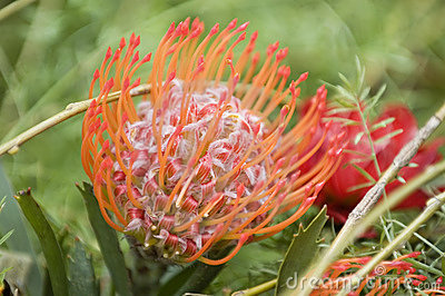 Blooming protea pincushion