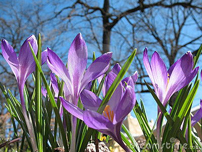 Blooming purple crocus.