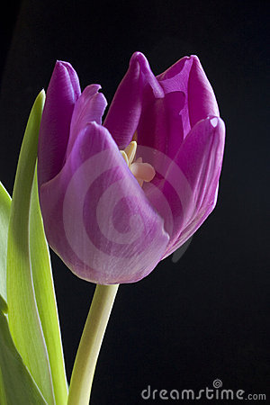 Blooming Purple Tulip Stock Image - Image: 13142071