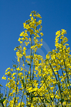 Free Blooming Rape, Blue Sky Royalty Free Stock Image - 2410146