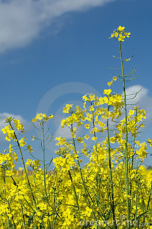 Free Blooming Rape, Blue Sky Royalty Free Stock Photos - 2410178