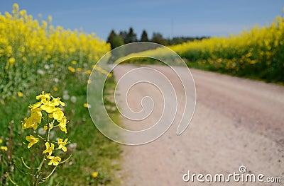 Blooming rapeseed flowers