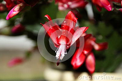 Blooming Red Christmas Cactus (Schlumbergera)